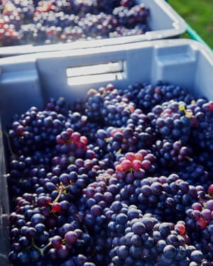 When I visited Hush Heath, they were bringing in the harvest in the pouring rain – the pinot noir grapes were sweet, with ripe skins and an electric charge of acidity that makes them perfect for sparkling wine.