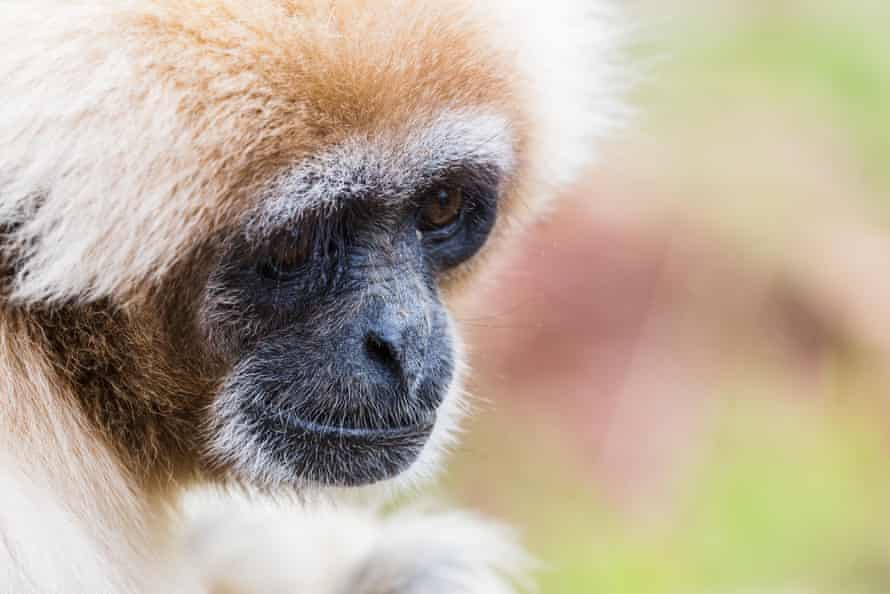 A white-handed gibbon at South Lakes Safari zoo in 2016.