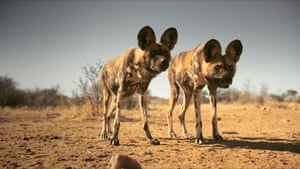 African hunting dogs live in packs led by a dominant pair. Unusually for social carnivores, it is the females which leave their birth pack once sexually mature.