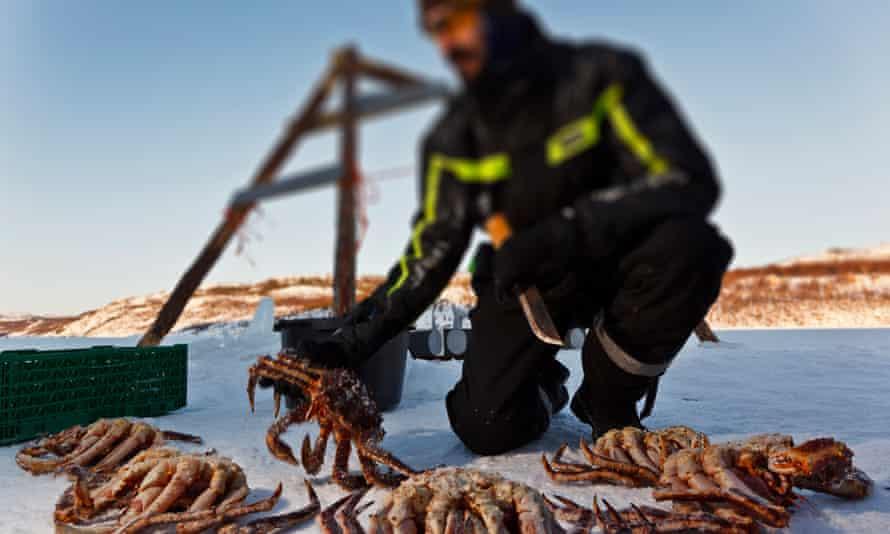 King crabs around Kirkenesking crab around kirkenes