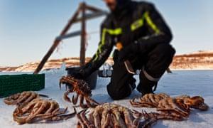 King crabs landed at Kirkenes