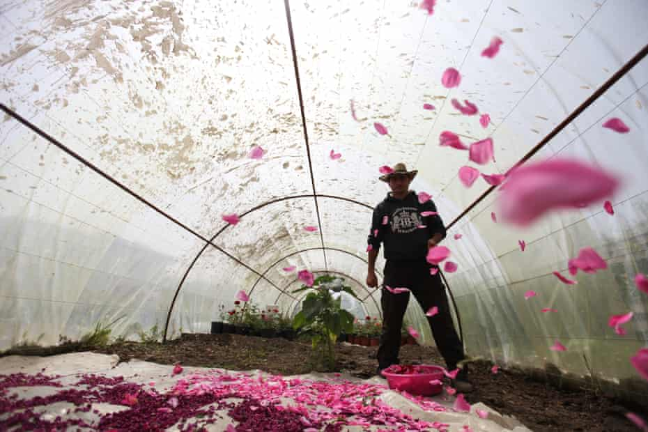 Salem al-Zarda scatters rose petals, which will be used as part of a herbal tea mixture, inside a greenhouse.
