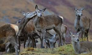 Red deer hinds in Scotland.