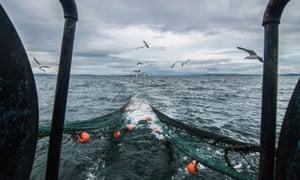 Seagulls following a Scottish fishing trawler