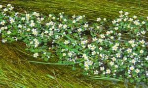Water crowfoot, Ranunculus aquatilis.