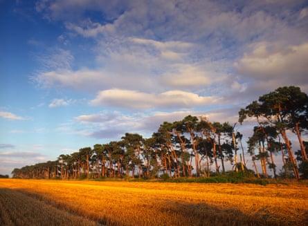 Scots Pine trees near Oxburgh Norfolk England UK