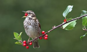 Redwing eating a berry