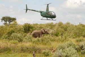 Flushing out elephants near a Maasai homestead