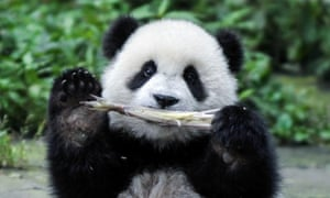 A giant panda cub eats bamboo sprouts at a research centre in Ya'an, Sichuan