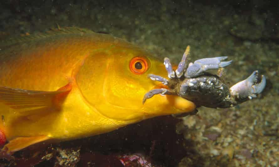 A ballan wrasse devours a crab.