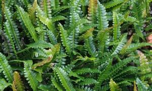 Alpine water fern (Blechnum penna-marina)