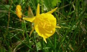Hooped daffodil Portugal