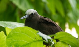 One of the white-capped noddies that often sit around in small groups on Heron Island
