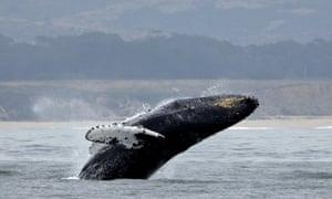 A humpback whale breeches off the coast of Half Moon Bay, California.