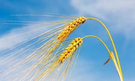 Barley ears against a summer sky