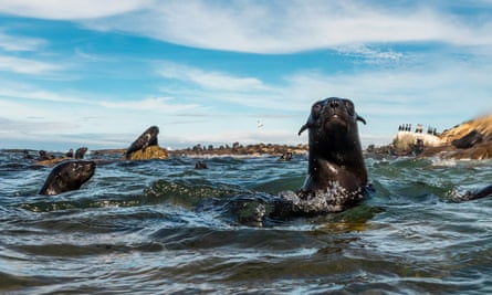 Healthy Cape fur seals off the coast of Cape Town, South Africa.