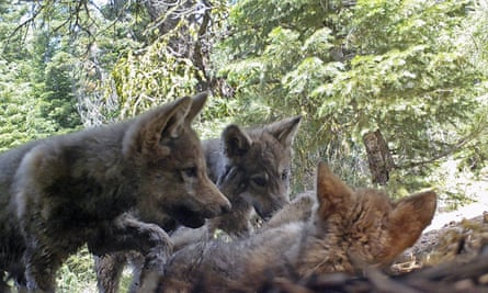 This June 2017 remote camera image released shows a female grey wolf and her mate with a pup born in 2017 in the wilds of Lassen national forest in northern California.