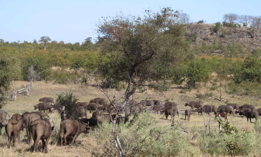 Some buffaloes in Kruger national park.
