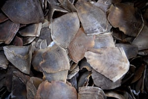 Pangolin scales seized by Malaysian customs officers, part of the country's largest ever haul –700kg worth $2.12m