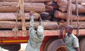 Authorities measuring seized illegal logs in the Natural Reserve Gille