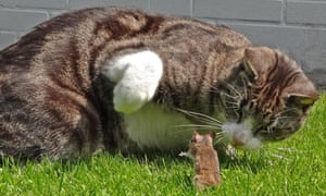 A mouse in an apparently suicidal standoff with a cat.