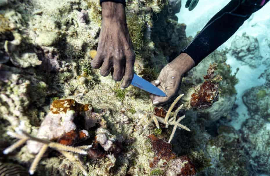 Diver Everton Simpson plants staghorn harvested from a coral nursery