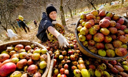 Apples harvested at a traditional cider orchard in Devon.
