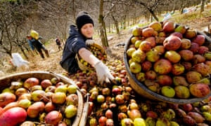 Pickers gather cider apples during the harvest at an orchard in Devon.