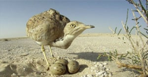 A Houbara bustard nest, spotted by conservationists for the first time in Jordan since the birds' release between 2014-2016 under the Shaikh Khalifa Bin Zayed Houbara Reintroduction Project