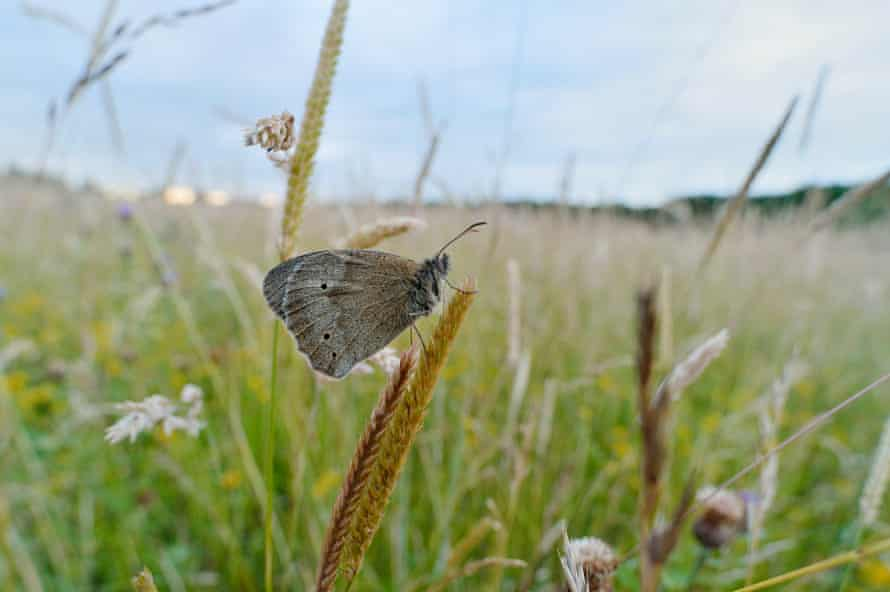 A meadow brown butterfly at Three Hagges.