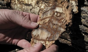 A piece of tree bark showing burrowing marks from a bark beetle infestation.