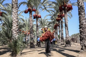 A Palestinian man carries a bunch of dates during the yearly harvest in the central Gaza Strip