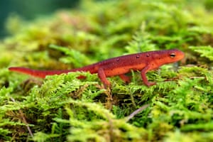 An eastern newt (Notophthalmus viridescens) in the red eft stage, at DuPont state recreational forest near Hendersonville, North Carolina, US