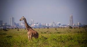 Nairobi, Kenya. A giraffe at Nairobi national park admiring its unique city view.