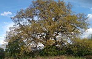 Turkey oak (Quercus cerris), Rani Lug, Bulgaria