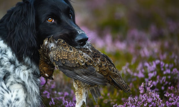 POLL: Should driven grouse shooting be banned?