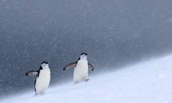 Chinstrap penguins in Half Moon Bay in the South Shetlands, Antarctica. Chinstrap penguin populations have plummeted in recent years with research pointing to climate change as a likely cause. Chinstrap penguins depend on krill populations, but these may be in decline due to less sea ice.