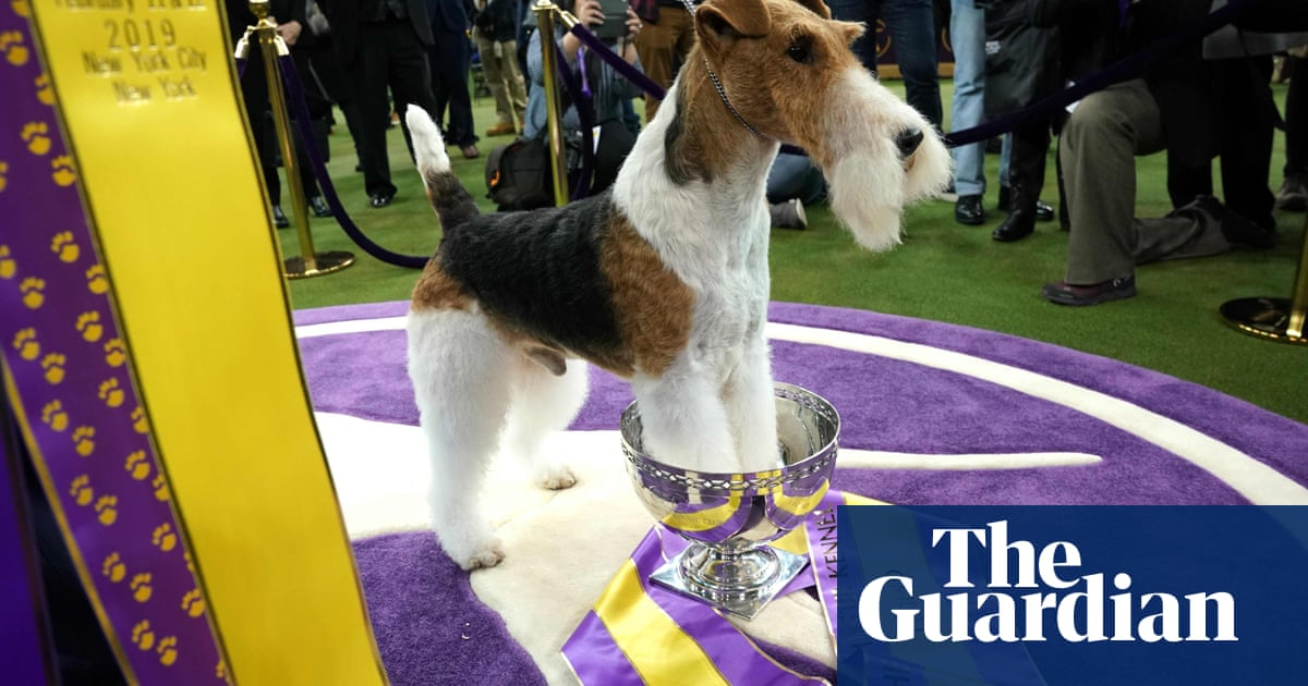 King for a lifetime: Wire fox terrier named Westminster's best in show