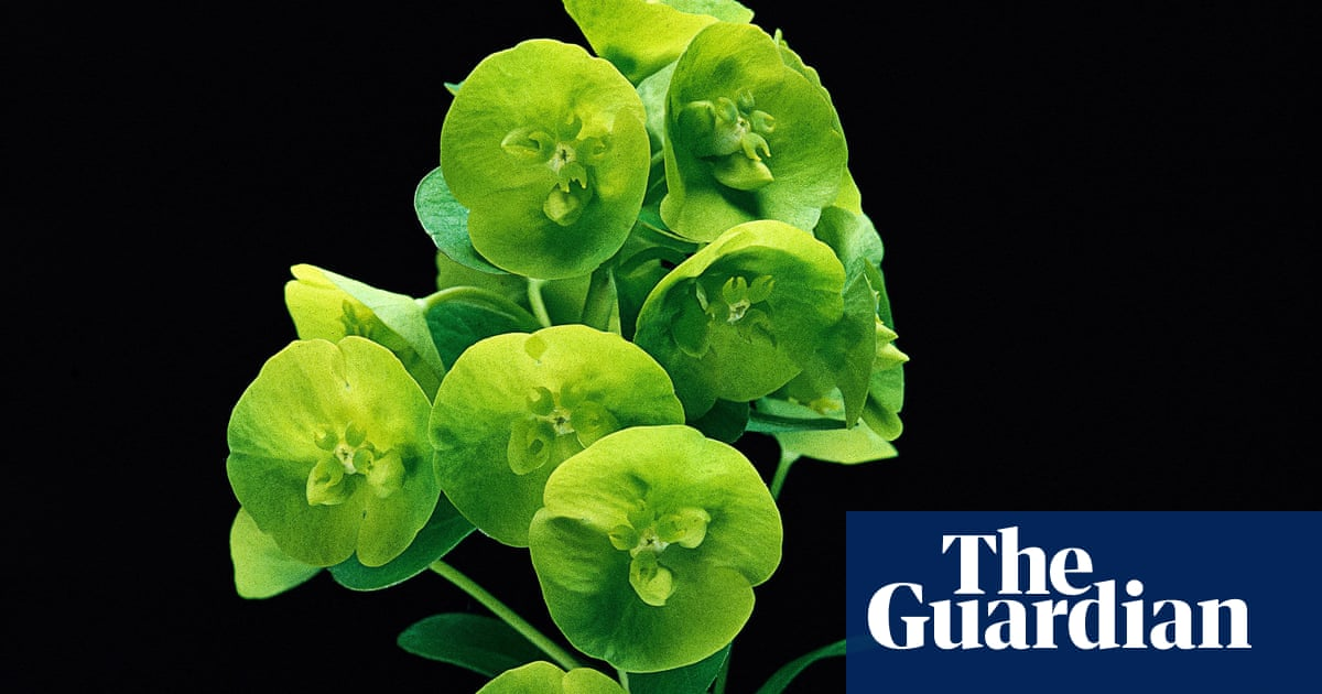 Ask Alys Euphorbias Are Poisonous So Why Are There So Many In