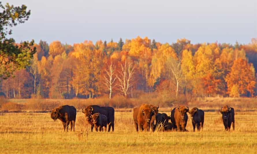 European bison in Poland's Białowieża forest.