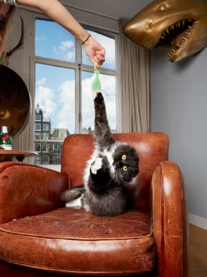 Highland fold cat Dirkie photographed by Isabella Rozendaal in Amsterdam.