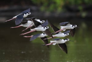 Black-necked stilt in formation