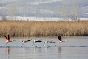 Flamingos swimming at Lake Van in Turkey, which hosts many kinds of birds during winter season.