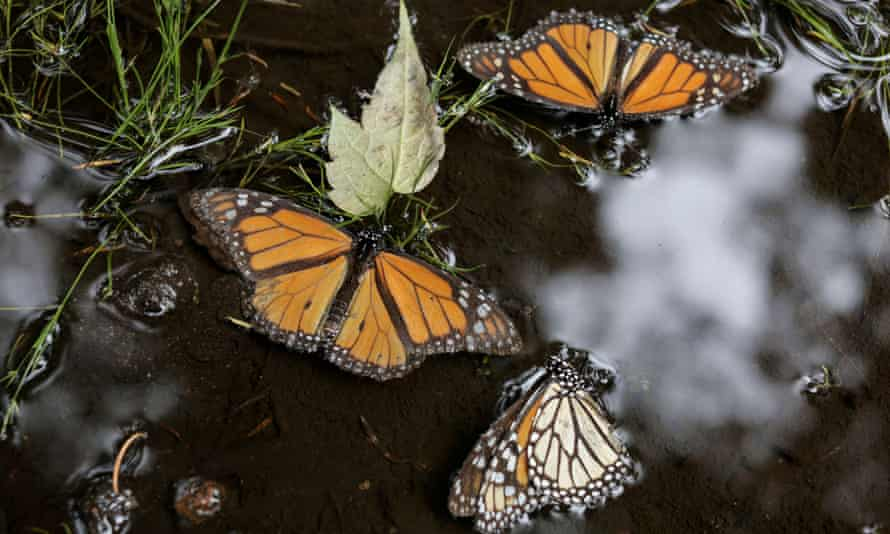 Monarch butterflies in a puddle at a sanctuary in western Mexico.
