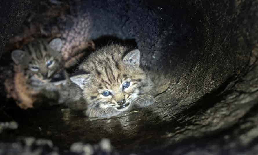 Bobcat kittens that were found in a cavity of a large oak tree in the Santa Monica Mountain range.