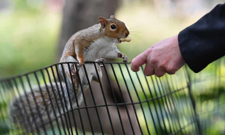 A person feeds peanuts to a grey squirrel in Washington Square Park. The animals can act atypically if overly used to being fed by people.