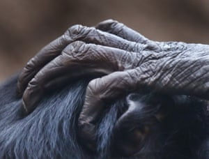 The hand of a bonobo ape placed on the head of another ape in Frankfurt zoo, Germany