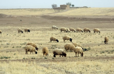 Sheep graze in fields in Hasaka, some 650 kms northeast of Damascus.