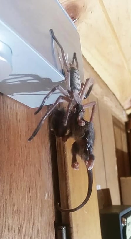Justine Latton posted a photo of a huntsman spider devouring a pygmy possum to the 'Tasmanian insects and spiders' Facebook page.