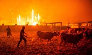 Men gather cattle during a forest fire in Vieira de Leiria, Marinha Grande, Portugal.